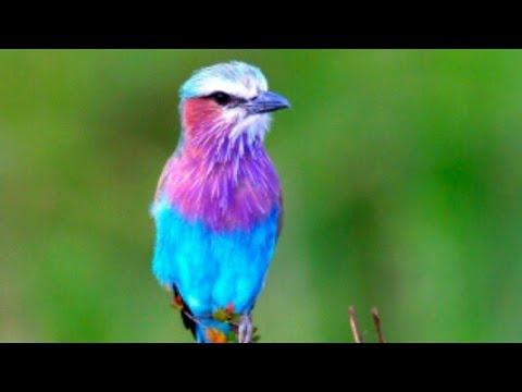 suara mp3 pikat burung pleci
