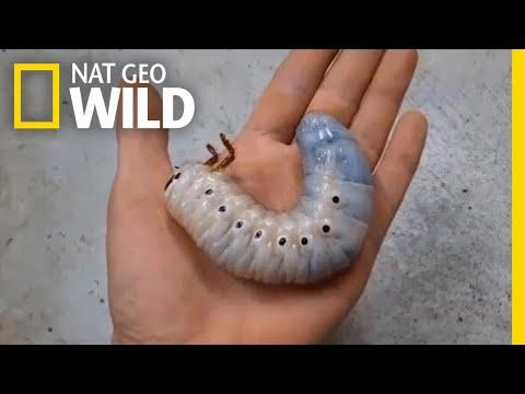 Watch a Hercules Beetle Metamorphose Before Your Eyes | Nat Geo Wild