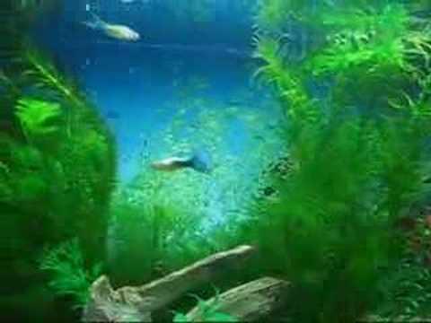 Guppys y Danios Cebras en acuario plantado 02