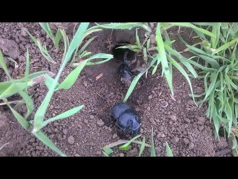 Травим жука-стригуна