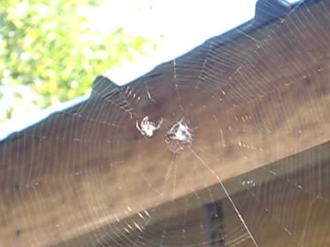 Spider Builds a Web