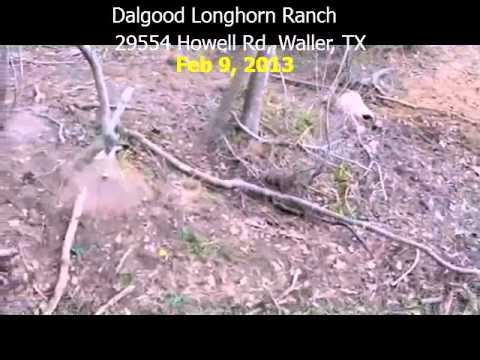 Dead Calf and Longhorn Skull with horns cut off in creek bed 02-09-13