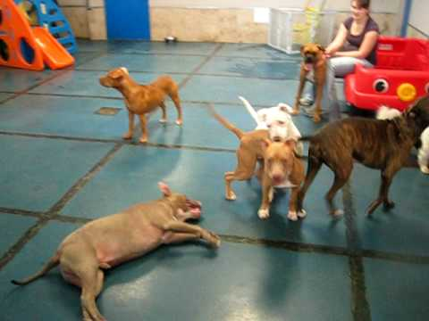Pit Bulls playing at Doggie Oasis Day Care