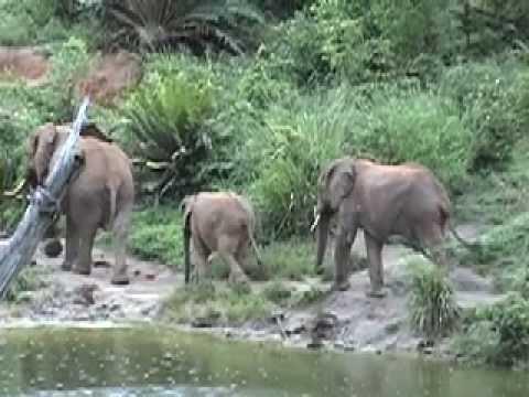 Wild Elephants of Kenya