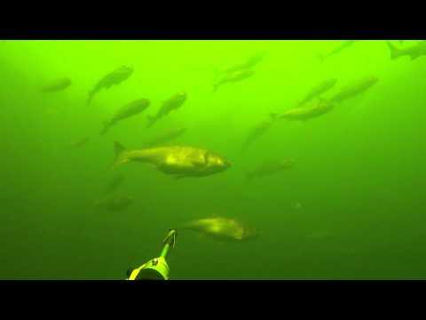 Подводная охота стая толстолобика