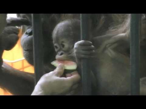 果物を食べるハヤト(円山動物園 オランウータン)