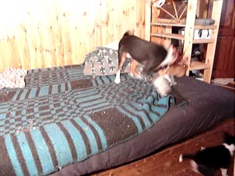 Crazy play! 5 weeks old basenji 4 puppies. More streaming videos at www.sikhote.com. Who loves basen