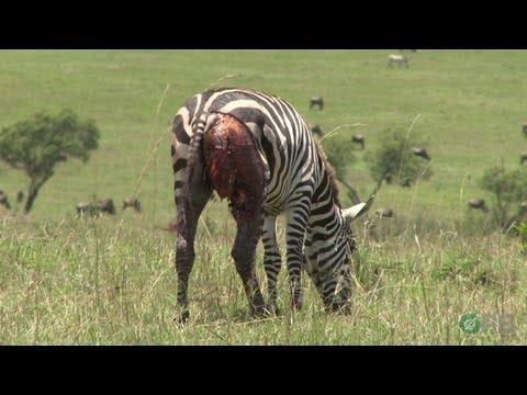 Děsivá planeta: Zebry