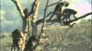 macaco gaiato.mp4