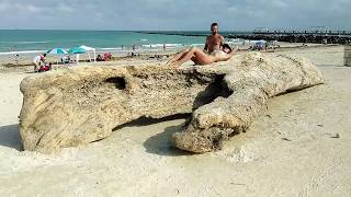 Dinosaur bones appear in Miami Beach after hurricane Irma.and becomes a tourist attraction.