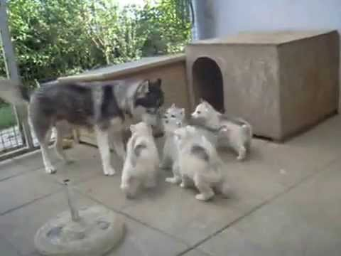 Sweetest husky puppies ever