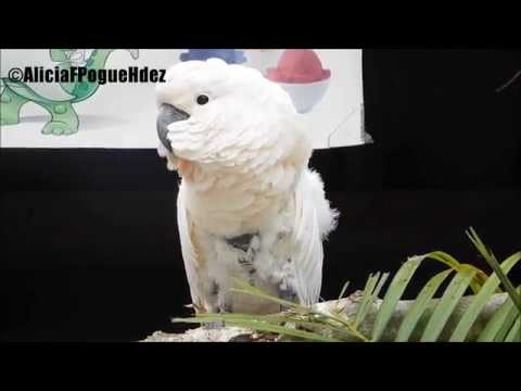 This cute Cockatoo try to tell us something oohh