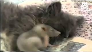Kleine Maus kuschelt mit Katze