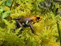 GOLDEN FROG SUPATA_RANITOMEYA SP NOV_CONSERVATION THE COLOMBIA POISSON FROGS