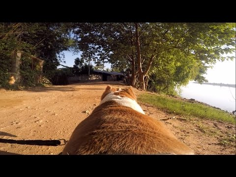 """Life with our Pit Bulls: """"Mali"""" & """"Brucey"""" along the Mekong River"""