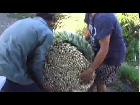 FARMER REPLACE RICE BY LEMON GRASS