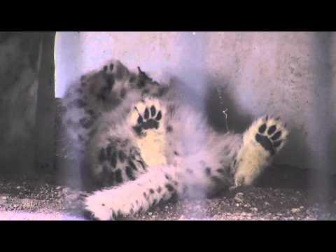 仰向けでくつろぐユキヒョウの赤ちゃん~Snow Leopard's Baby who becomes supine