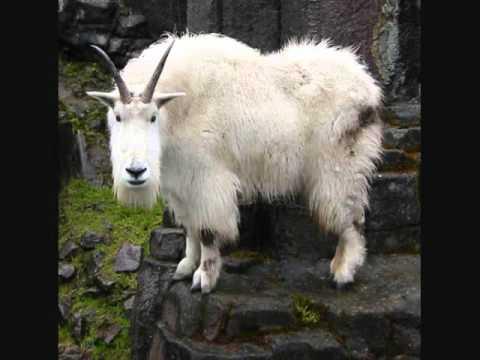 Mountain Goats - Last Man On Earth