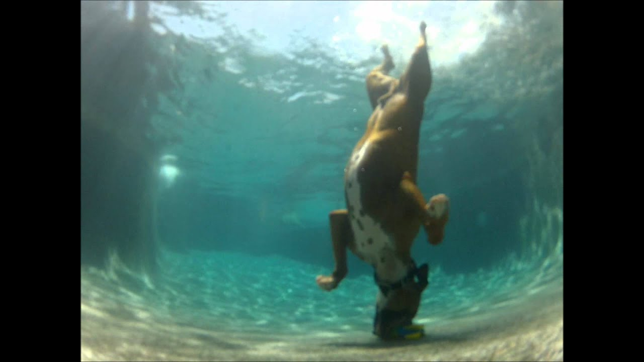 Dog Diving Into a Pool Pool Diving Boxer Dog