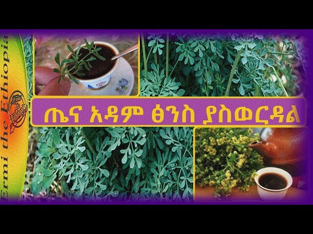 Rue Herb Health Benefits In Amharic