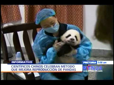 China: Récord de nacimientos de osos panda en cautiverio-NTN24.com