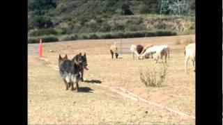 download lagu German Shepherd Group Sheep Tending gratis