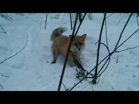 как поймать лису в капкан на приманку