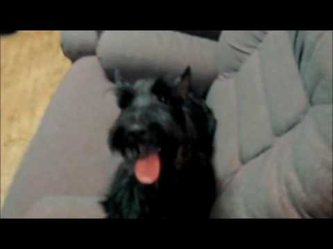Walle's Hair Cut Feels Good, Scottish Terrier