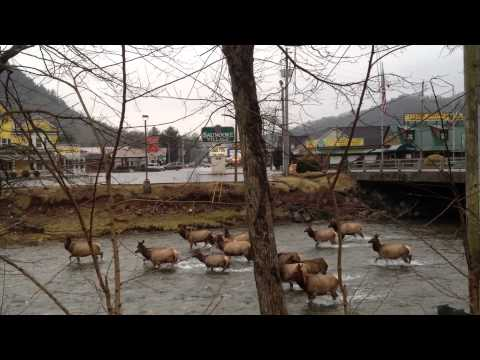 Elk In The Oconaluftee River On The Cherokee Indian Reservation