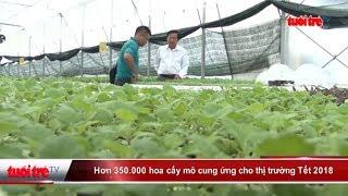 Hơn 350.000 hoa cấy mô cung ứng cho thị trường Tết 2018