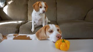 Dog Helps Little Sister Steal Pepper: Cute Dogs Maymo & Penny