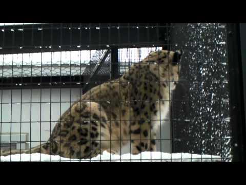 ユキヒョウ ヤマトと追いかけっこ (Snow Leopard)円山動物園