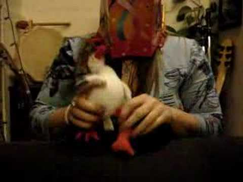 Crazy Chicken Symphony & Constipated Tiger Video