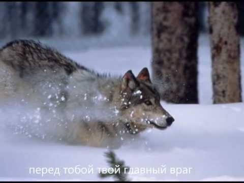 Волк - песня 2011
