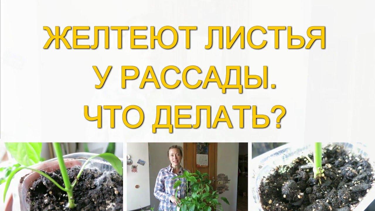Желтеют листья рассады томатов что делать 32