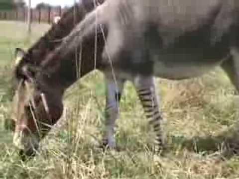 Zeedonk zebroid