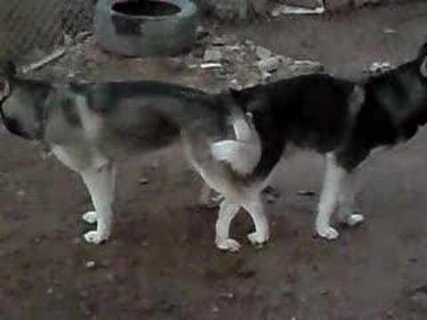 Husky Apareandose - YouTube