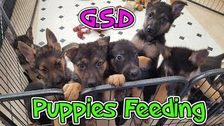 GSD German Shepherd Puppies Feeding
