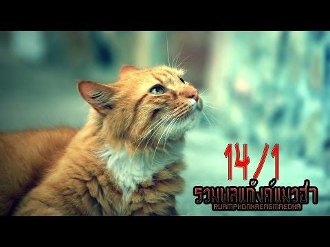 รวมพลแก๊งค์แมวฮ่า   ตอนพิเศษ   14/1 น้องแมว React