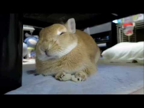【僕は眠くないよ!】睡魔と戦うが負けてしまうもふもふウサギ