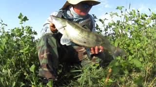 Змееголов, судак и жерех - хищники малой реки / Snakehead, zander and aspius: hunters of small river