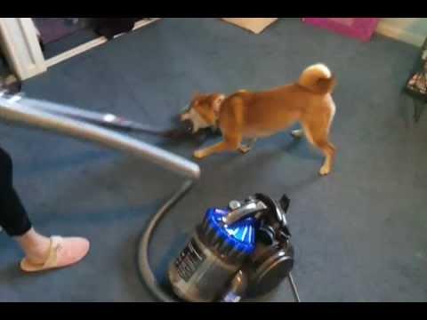 Nikki the Shiba Inu hates the vacuum