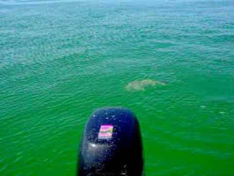 St.Pete Fishing Charters Black Drum ,stpetefishingcharters.com Cap Jay, Black Drum
