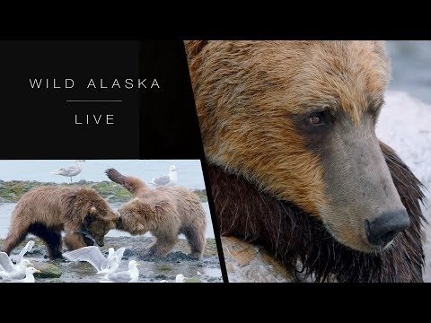 How do brown bears hunt for salmon? - Wild Alaska Live: Episode 2 - BBC One
