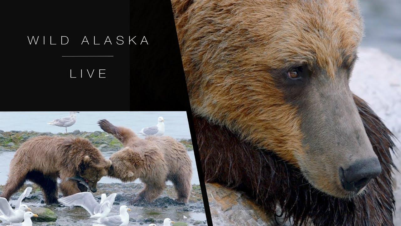 How do Brown bears hunt for salmon?: Wild Alaska Live: Episode 2 - BBC One