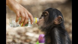 Cute Monkeys Part #79 - Free and happy time Cute Baby Chimpanzee Playing with Water - So funny