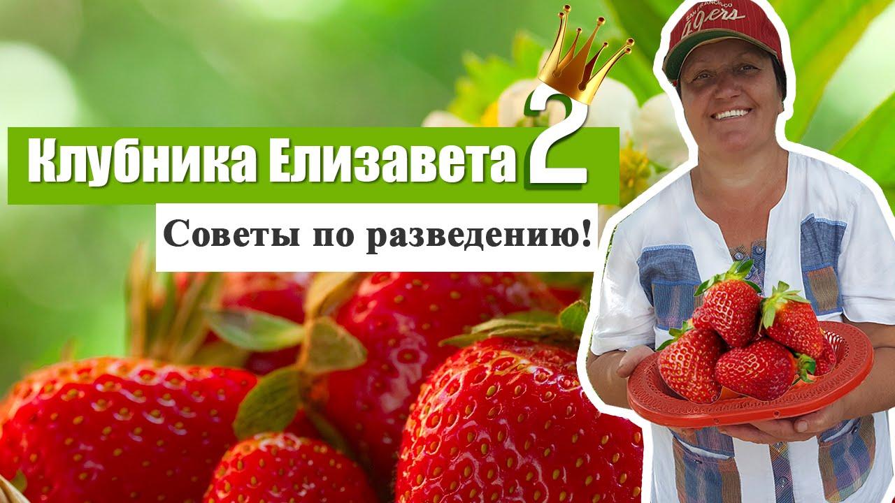 Клубника сорт елизавета 2 выращивание 97