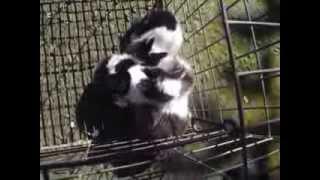 mini coelhos  -  Paraiso dos Coelhos