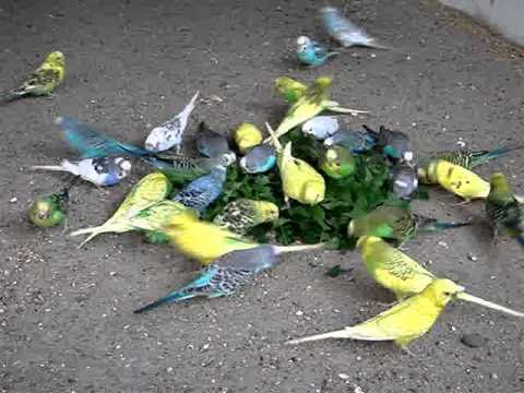 Budgies attack on Dandelion.MPG