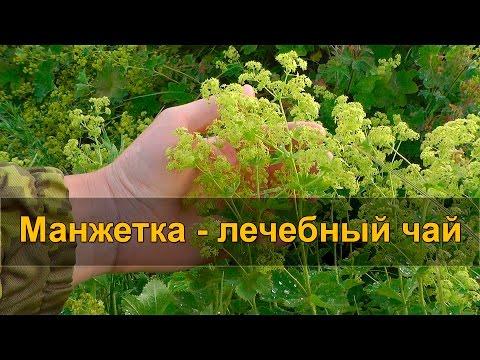 🌱 МАНЖЕТКА - лечебный чай